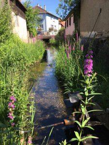 Salicaire au Jardin du Langert à Muttersholtz